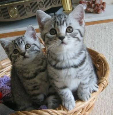два котенка британской породы