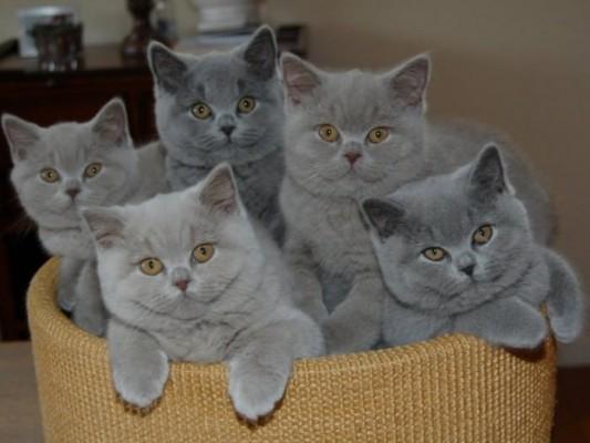 Британские котята в лукошке