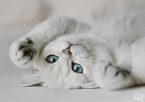 красивая британская кошка с голубыми глазами