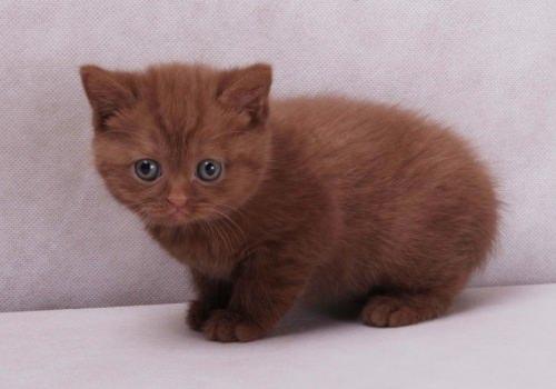 британский котенок коричневый