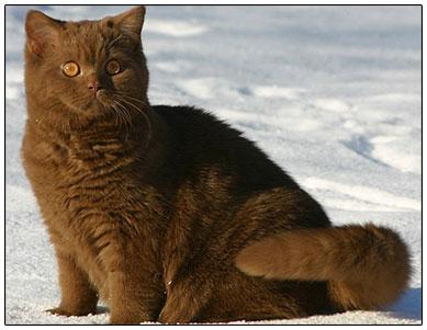 британская кошка коричневого окраса