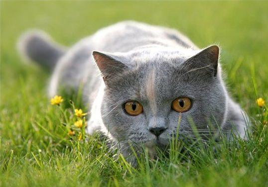 британский котик в траве