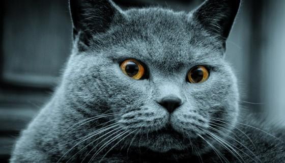 бритаская кошка голубая