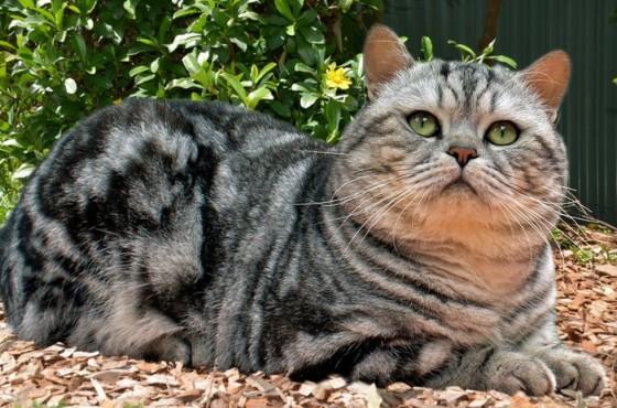 британская полосатая кошка