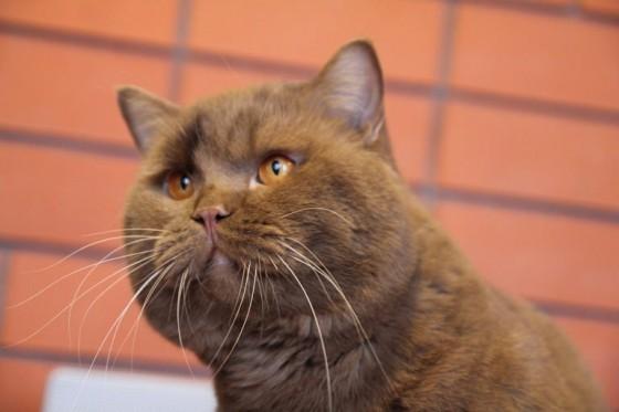 британский длинношерстный котенок фото