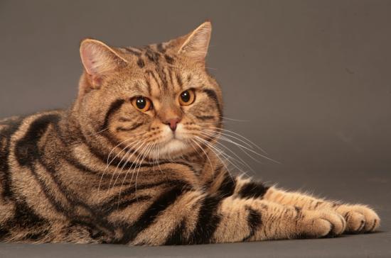 полосатая британская кошка