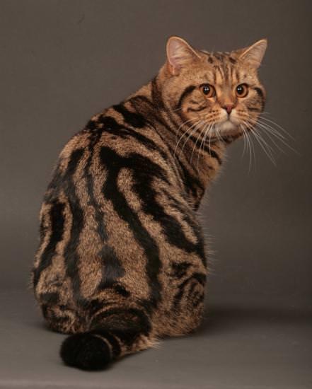 Короткошерстные кошки список пород с фото уход за