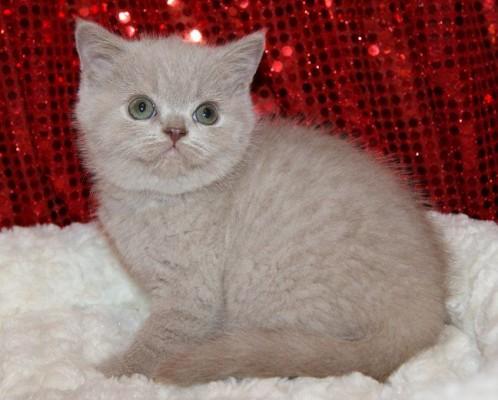 котенок британец кремовый