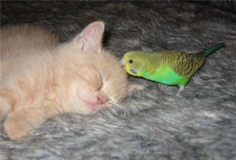 котенок и попугай