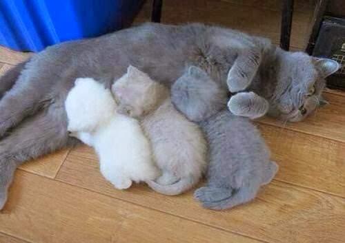 британские котята с мамой