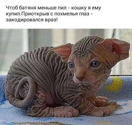 котенок сфикс