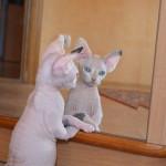 котик породы сфинкс
