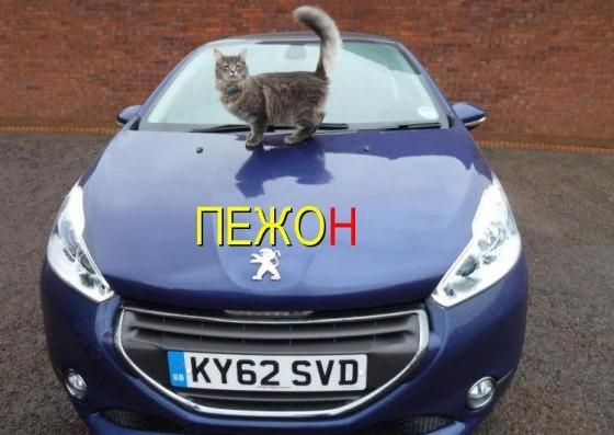 кот на авто пежо