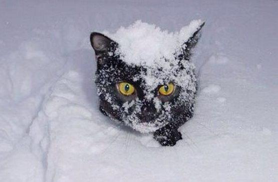 морда черного кота в снегу