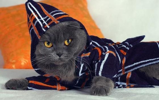 вислоухий кот шотландец в одежде