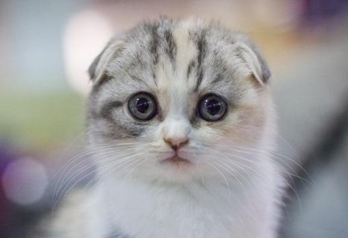 милый котик scottish fold