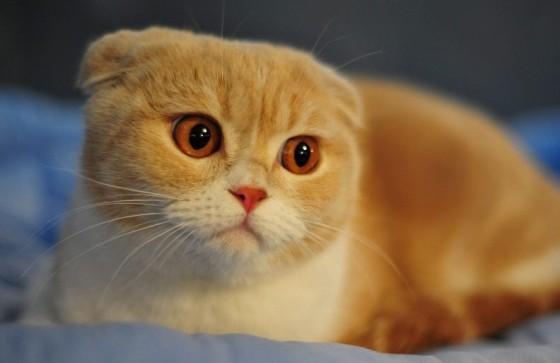 шотландский вислоухий рыжий кот