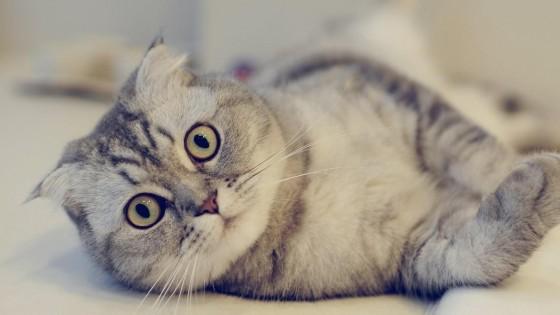 шотландская вислоухая полосатая кошка