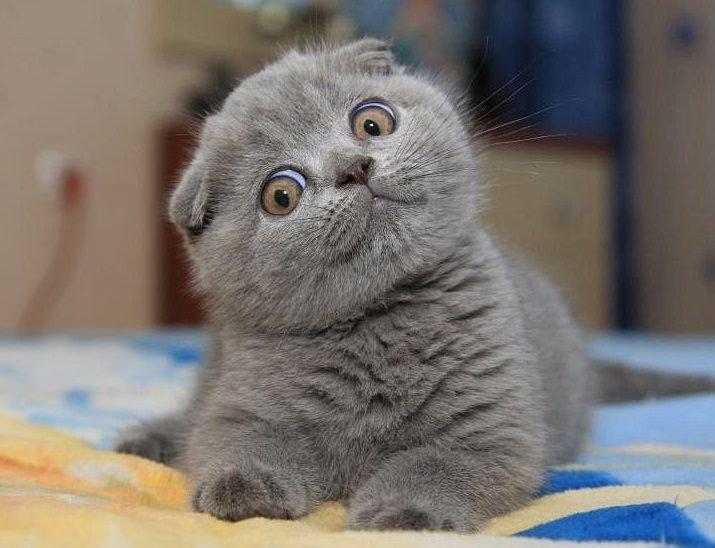 Шотландский вислоухий белый кот