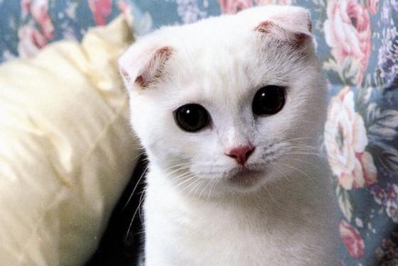 скоттиш фолд белая кошка