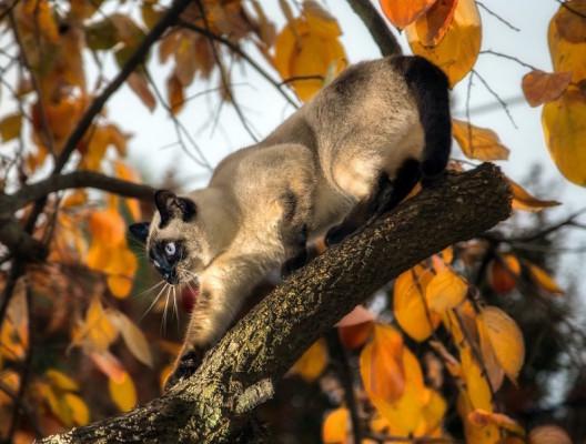 сиамо-тайский кот на дереве