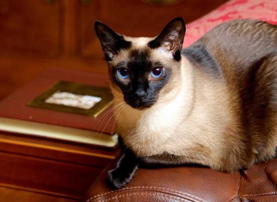 сиамский тайский кот на диване