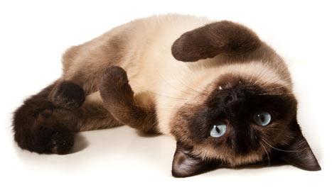 сиамская кошка на спине