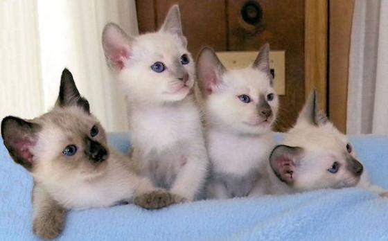 четверо сиамских котят