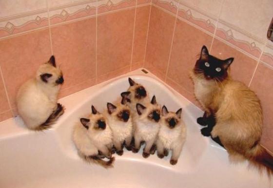 сиамские котята с родителями