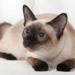 сиамский кот колор пойнт