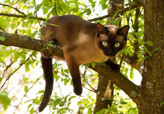 сиамский кот на ветке