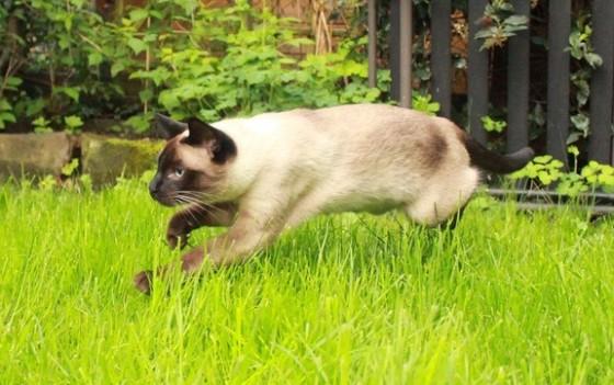 сиамский кот в прыжке на траве