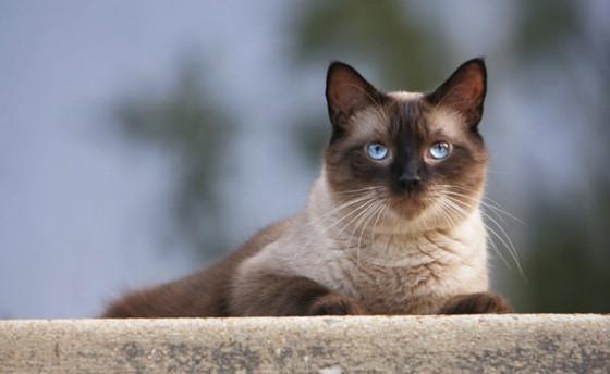 сиамский важный кот лежит
