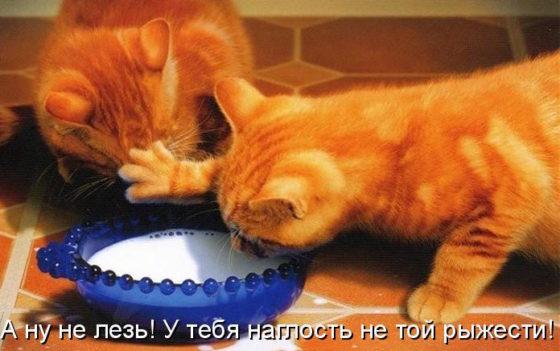 наглость рыжего кота