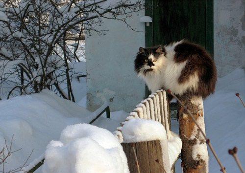 кот зимой на заборе