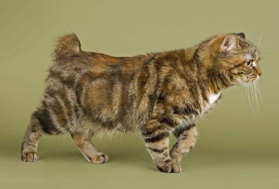 шикарная кошка бобтейл