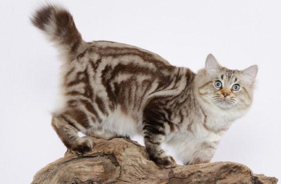 кошка породы бобтейл