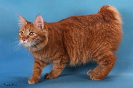 бобтейл кот рыжий