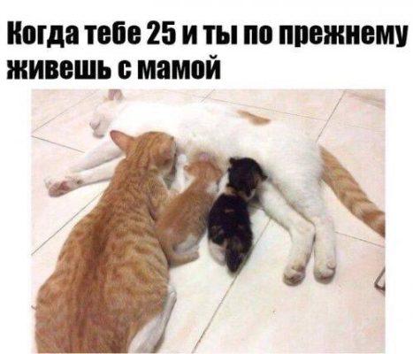 большой котенок пьет молоко у кошки