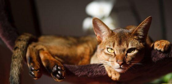 абиссинский кот лежит