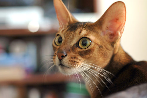 мордочка абиссинской кошки