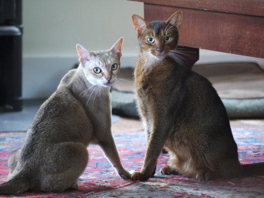 абиссинские кошки серого окраса