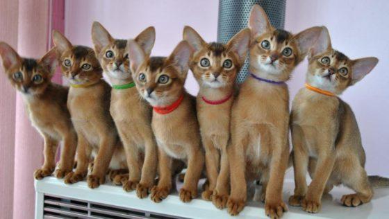 много абиссинских котят