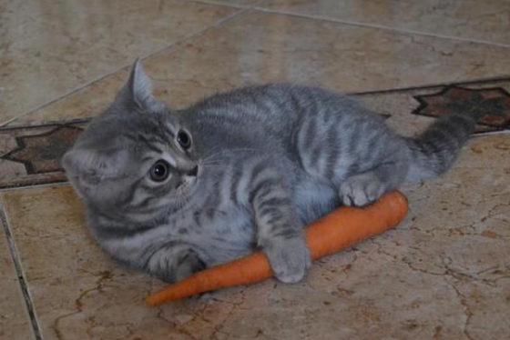 котенок с морковкой